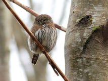 Shy Northern Pygmy-Owl Stock Photo