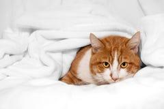 Shy Orange Cat hiding in white blanket. Snuggled under a soft white blanket, is an orange and white tabby cat Stock Images