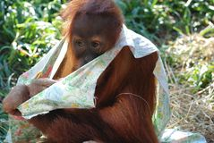 Shy orangutan Royalty Free Stock Image