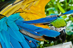 Shy Parrot Royalty Free Stock Photography