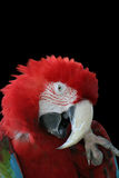 Shy Parrot Stock Photography