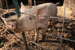 Shy pig Royalty Free Stock Photography
