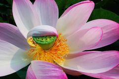 A shy pink lotus face covered Royalty Free Stock Photos