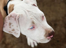 Shy Pitbull Puppy Stock Photos