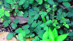 shy plant: mimosa pudica. When you touch, it close leaves stock video footage