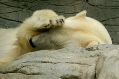 Shy polar bear. A polar bear covering his face from the light so he can get some sleep royalty free stock image