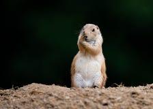Shy Prairie Marmot Stock Photography