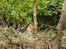 Shy probiscus monkey sitting in a tree Royalty Free Stock Photos