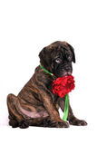 Shy Puppy with a flower Stock Photo