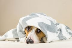 Shy puppy in warm throw blanket rests in bedroom. Young staffordshire terrier dog on couch after bath or shower looks up in funny way Royalty Free Stock Image