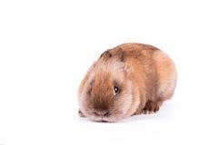 Shy rabbit  on white Royalty Free Stock Photography