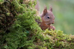 Shy red squirrel Royalty Free Stock Photography