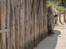Shy rhinoceros. In the hungarian zoo Royalty Free Stock Image