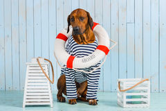 Shy Rhodesian Ridgeback dog-sailor with lifebuoy around neck. A shy Rhodesian Ridgeback dog-sailor with a lifebuoy around its neck Stock Photo