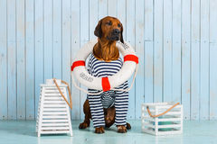 Shy Rhodesian Ridgeback dog-sailor with lifebuoy around neck. A shy Rhodesian Ridgeback dog-sailor with a lifebuoy around its neck Stock Images