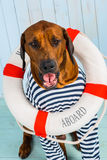 Shy Rhodesian Ridgeback dog-sailor with lifebuoy around neck. A shy Rhodesian Ridgeback dog-sailor with a lifebuoy around its neck Royalty Free Stock Photography
