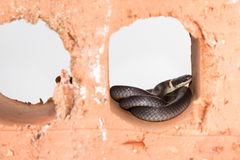 Shy ring neck snake Stock Image