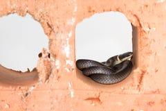 Shy ring neck snake Stock Image