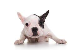 Shy and sad french bulldog puppy Stock Photo