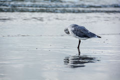 Shy seagull ballerine mirrored in sea Royalty Free Stock Image