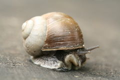 Shy snail Royalty Free Stock Images