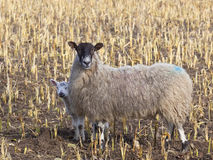 Shy spring lamb and ewe Royalty Free Stock Image