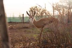 Shy springbok Stock Photos
