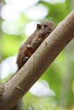 Shy squirrel hiding on branche Royalty Free Stock Photo