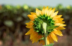 A shy sunflower royalty free stock photos
