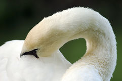 Shy Swan. A swan hiding his face in plumage Royalty Free Stock Photos