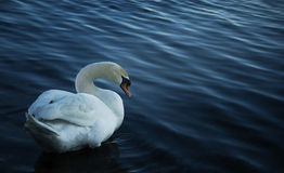Shy swan Stock Photography