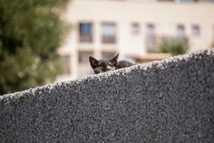Cute young tabby cat peeking from behind a wall royalty free stock photo