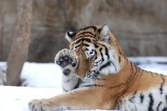 Shy tiger stock photo