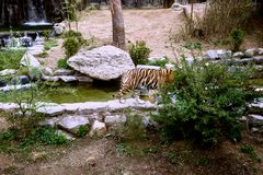 Shy tiger hiding behind the bushes at a zoo royalty free stock images