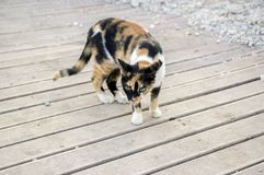 Shy tortoiseshell cat with amazing green eyes on wooden pavement stock photos