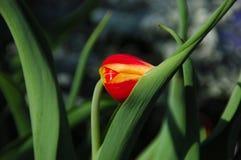 Shy Tulipa Kees Nelis Tulip Stock Photography