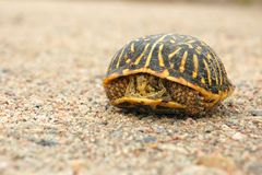 Shy Turtle Peeks Out from Shell. Shy western box turtle peeks out from inside its shell on dirt road background Stock Image