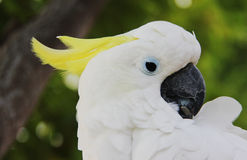 Shy white parrot Royalty Free Stock Images