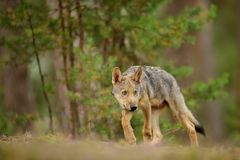 Shy wolf cub in forest. Shy cute wolf cub in forest. Euroasian wolf standing on forest grass and looking right Stock Image