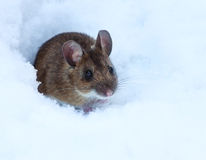 Shy wood mouse on snow Stock Photos
