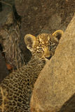 Shy young Leopard cub. Close up of shy Leopard cub hiding behind rock Stock Images