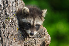 Shy Young Raccoon (Procyon lotor) Royalty Free Stock Photos
