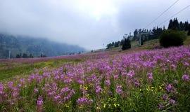 Shymbulak w lecie, kwitnących Sally kwiatach i cableway, Almaty, Kazachstan Fotografia Stock