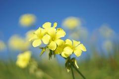 Siège potentiel d'explosion-caprae d'Oxalis - fleurs jaunes sauvages avec le fond vert et bleu Photo stock