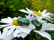 Siège vert de deux scarabées sur des fleurs de camomille Photo libre de droits