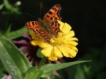 Sièges d'un papillon d'orange sur une fleur Photos stock