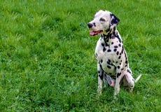 Sièges dalmatiens Photos libres de droits