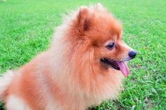 Sièges luisants de chien de Pomeranian sur le vert d'herbe photos libres de droits