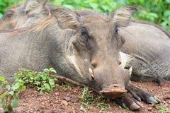 Sièste des warthogs sur la savane, Ghana Photographie stock libre de droits