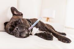 Siësta zieke hond Royalty-vrije Stock Afbeelding